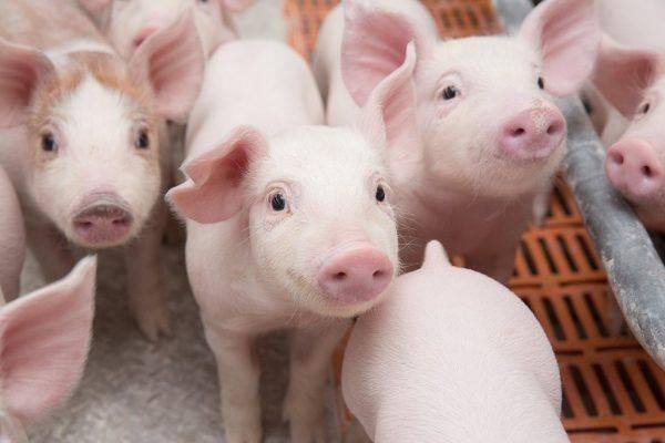 Свиноводство как бизнес-идея: как можно заработать на разведении свиней?