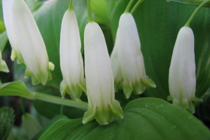 Цветок купена — садовое растение - энциклопедия цветов