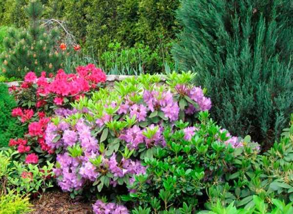 Рододендрон в сибири (32 фото): правила посадки и ухода. виды и сорта рододендрона, которые можно выращивать в сибири. как он растет в холодных условиях? отзывы