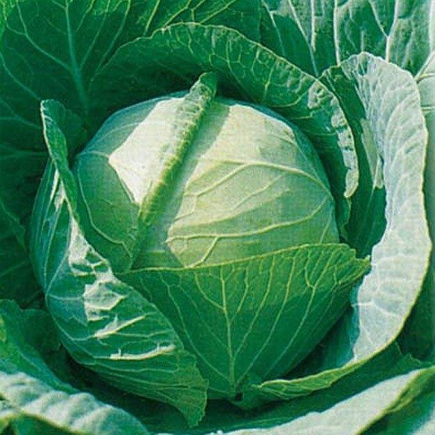 Сорт капусты колобок: описание, агротехника выращивания