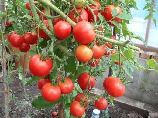 Томат верлиока: описание сорта и советы по уходу