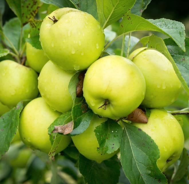 50 фото яблок антоновка,  описание сорта, ее полезные свойства и противопоказания