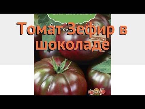 Зефир в шоколаде - томат высокой урожайности: описание сорта, фото
