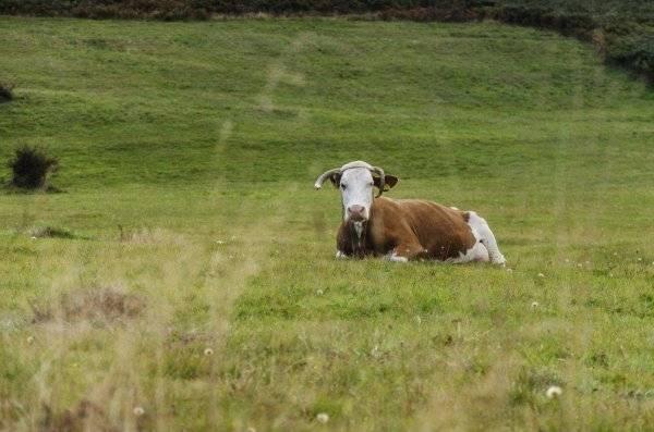 Лечение оспы у коров