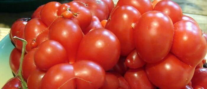 Гибридный томат «белла роса» и как его правильно выращивать