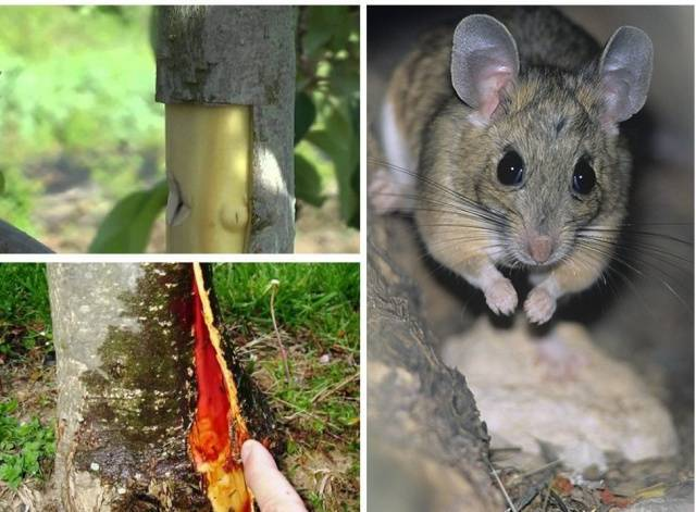 Как спасти яблоню, если кору объели мыши зимой