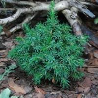 Ель сербская пендула брунс, кук (picea omorica pendula bruns, kuck): описание, фото