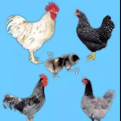 Голошейная порода кур (испанка): содержание и разведение