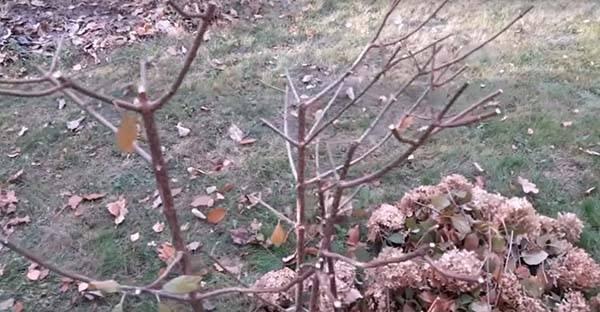 Как обрезать метельчатую гортензию осенью: схема и видео для новичков