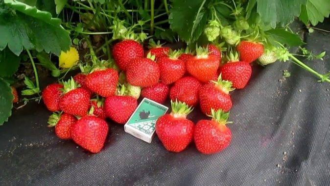 Клубника элиане: описание сорта, фото, отзывы садоводов об урожайности