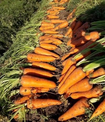 Морковь абако f1 описание сорта фото отзывы