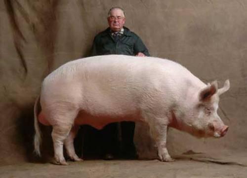 Мясные породы свиней: особенности выращивания