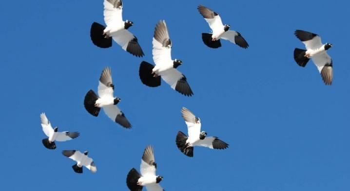 Английский крестовый голубь (голубь «монах»)
