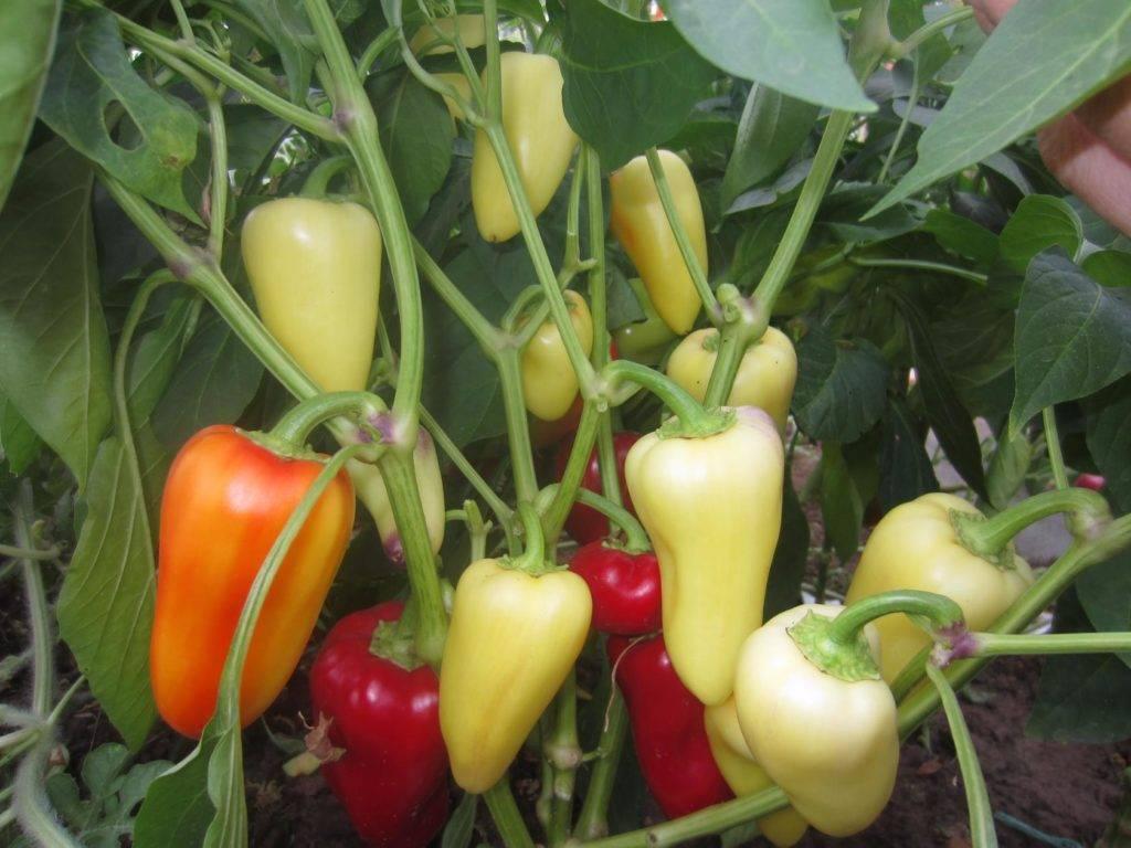 """Томат """"сахарный гигант"""": описание сорта, выращивание, особенности, фото помидоров"""