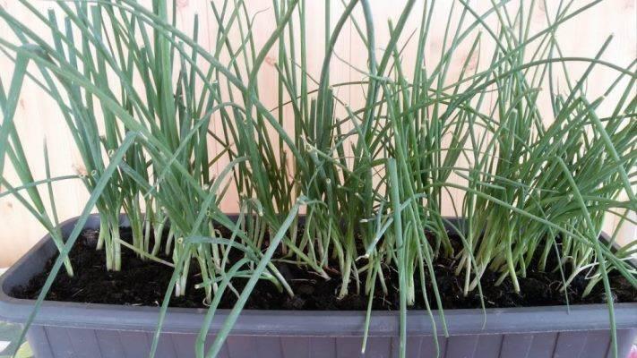 Лук-батун на подоконнике: выращивание из семян в домашних условиях, посадка и уход