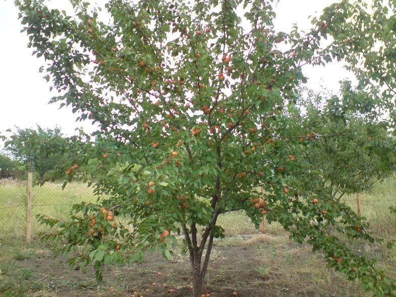 Описание и характеристики абрикоса сорта водолей, тонкости выращивания