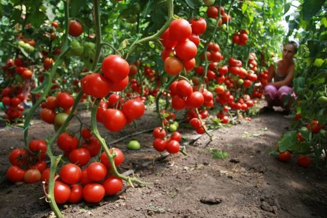 Формирование томата в один стебель