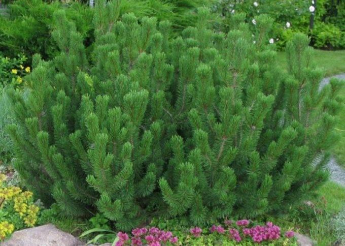 Сосна «ватерери» (38 фото): описание сорта сосны обыкновенной. использование в ландшафтном дизайне. ее высота и другие размеры. уход