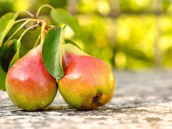 Особенности посадки и выращивания раннего сорта груши северянка