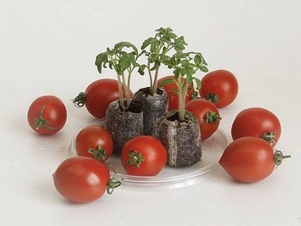 Выращивание рассады томатов в домашних условиях: пошаговая инструкция
