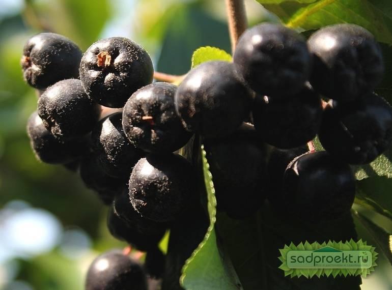Черноплодная рябина - все ее лечебные свойства и противопоказания