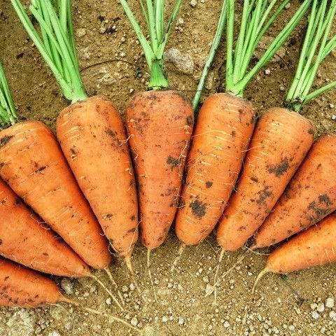 Выращивание моркови в средней полосе: обзор лучших сортов