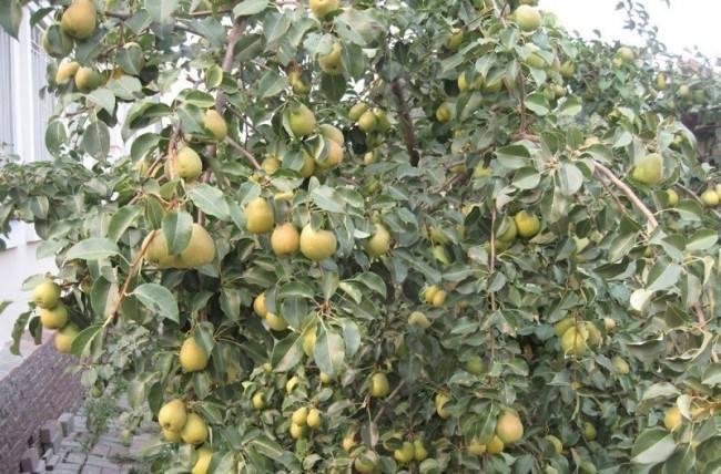 Груша велеса: выращиваем на участке зимостойкий и урожайный сорт