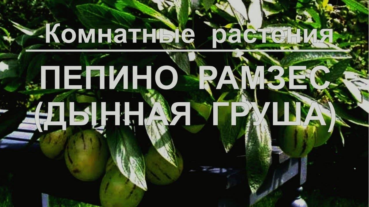 Экзотический фрукт пепино: описание, польза и вред для организма