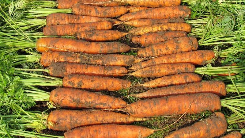 Морковь Настена