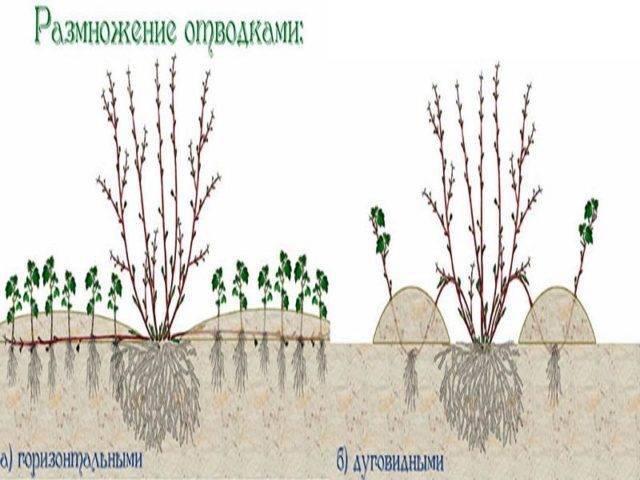 Пузыреплодник: описание, посадка и уход в открытом грунте
