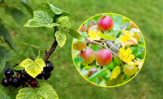 Почему желтеют листья смородины. желтеют листья смородины в мае, июне: что делать, народные средства пожелтение листьев у черной смородины весной