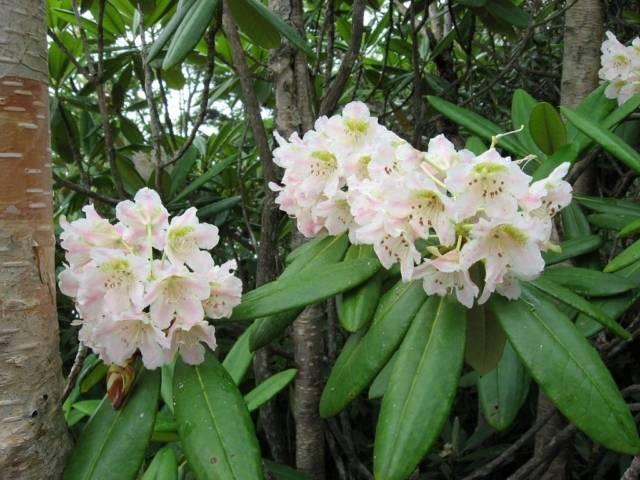 Кавказский рододендрон: лечебные свойства и противопоказания