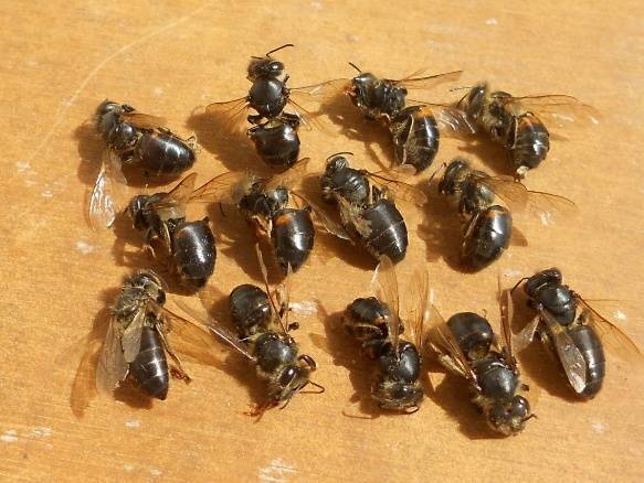 15 опасных болезней пчел их признаки и методы лечение (фото и видео)