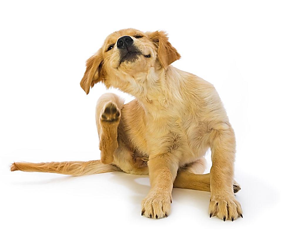 Листериоз: симптомы, профилактика, меры борьбы, лечение. |  ветеринарная служба владимирской области