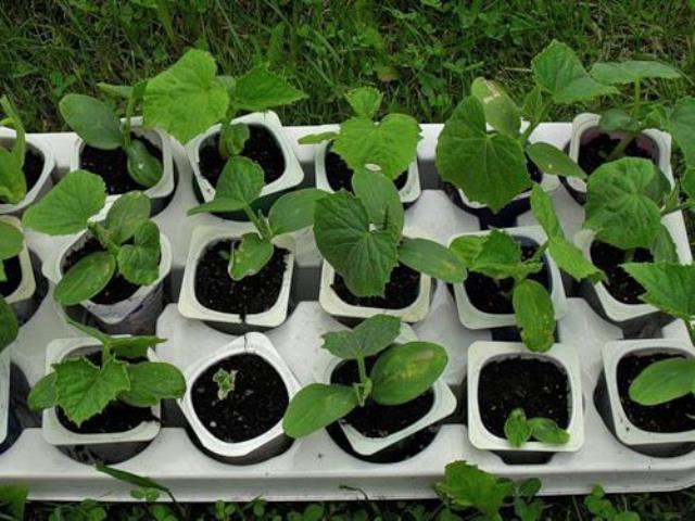Как правильно выращивать рассаду огурцов