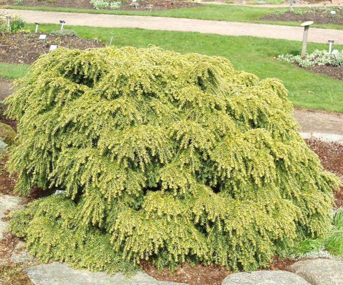 Тсуга канадская — хвойное дерево для ландшафтного дизайна