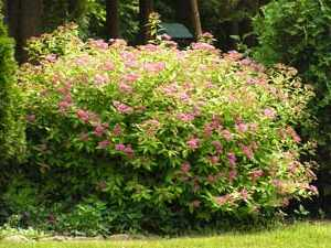 Спирея серая: описание, сорта, агротехника
