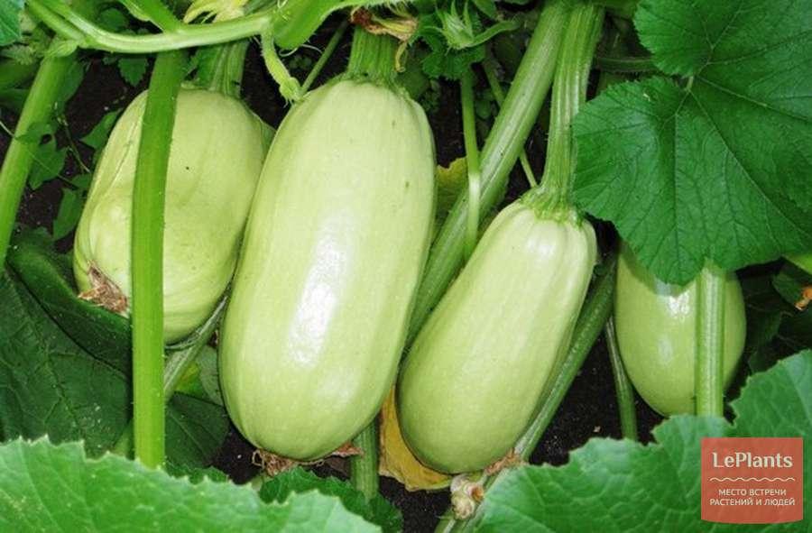 Белоплодные кабачки — отзывы, описание сорта и характеристика