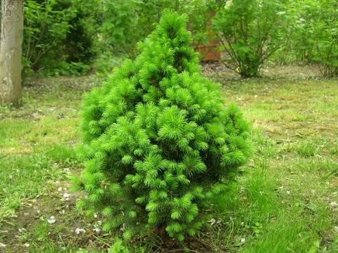 Ель коника – универсальное деревце для участка и домашнего выращивания