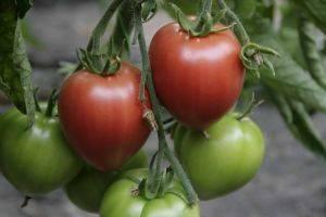 Вкусный высокорослый томат розовый спам: отзывы и 30 фото