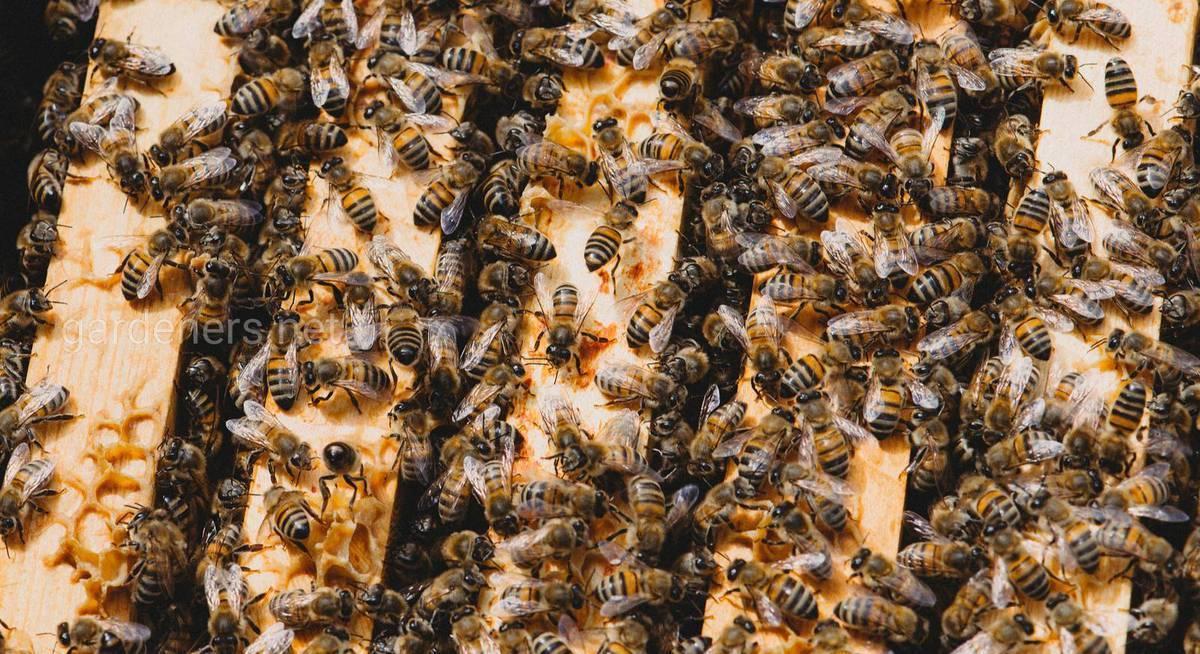 Семья - трутовка   практическое пчеловодство