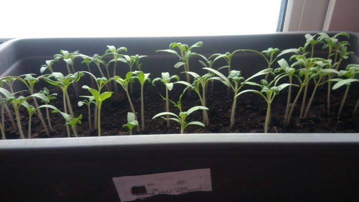 Какие семена томата надо готовить к посеву, а какие нет, и как это делать правильно