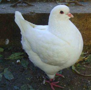 Мясные голуби: породы, условия содержания, кормление