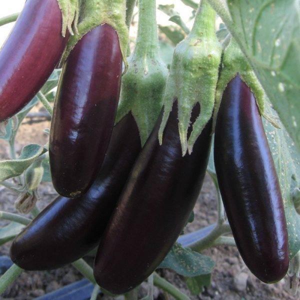Как выращивать баклажаны в открытом грунте в сибири