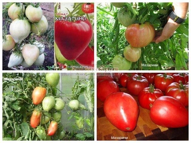 Фото, видео, отзывы, описание, характеристика, урожайность сорта томата «альфа»