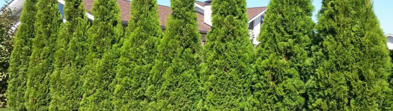 Отдаем предпочтение быстрорастущим кустарникам и деревьям. живая изгородь быстрорастущая многолетняя - подбор растений