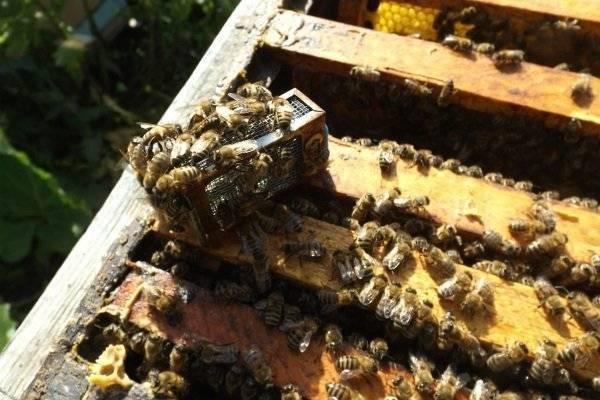 Свищевые и роевые маточники пчел