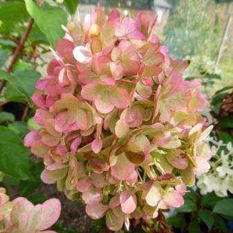 Пастель грин: сорт гортензии метельчатой, посадка, уход, выращивание