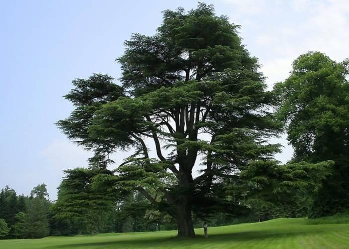 Как вырастить величавый красавец кедр на своем участке