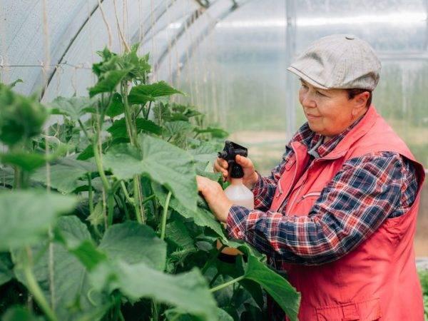 Луковая шелуха для огурцов: применение в огороде и в теплице